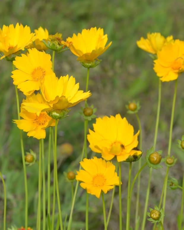 coreopsis-garden-asset