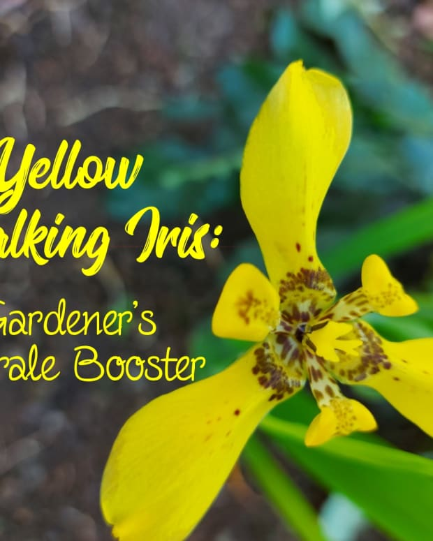 yellow-walking-iris-the-gardeners-morale-booster