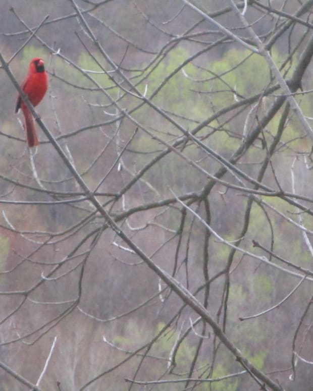 peaceful-cardinal-calls