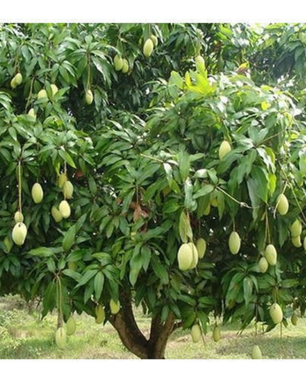 mango-production-technology