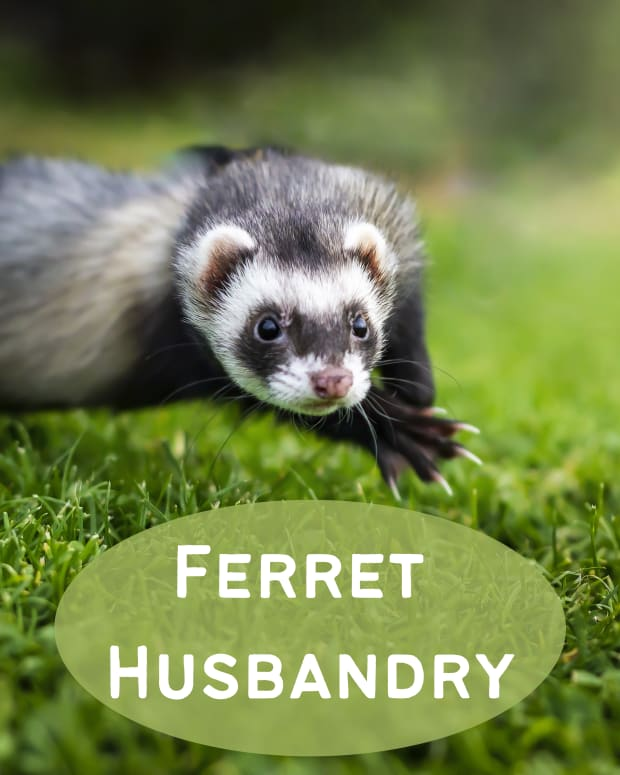 basic-ferret-husbandry