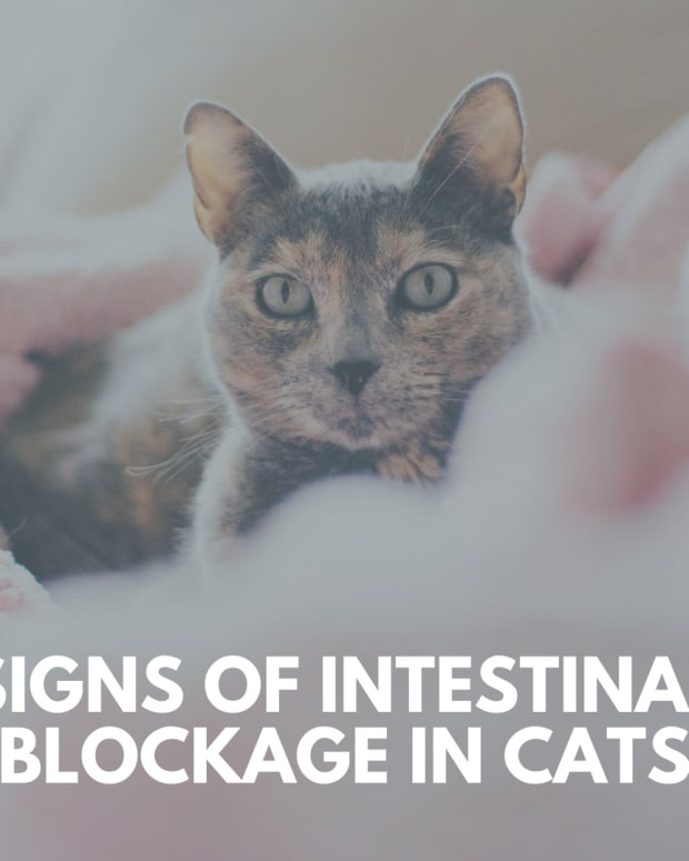 signs-of-intestinal-blockage-in-cats