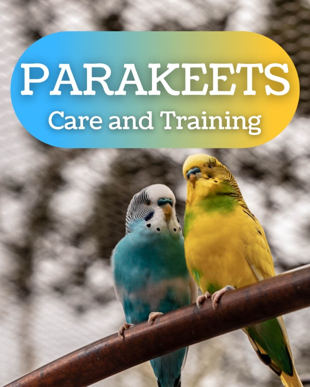 how-to-train-a-parakeet