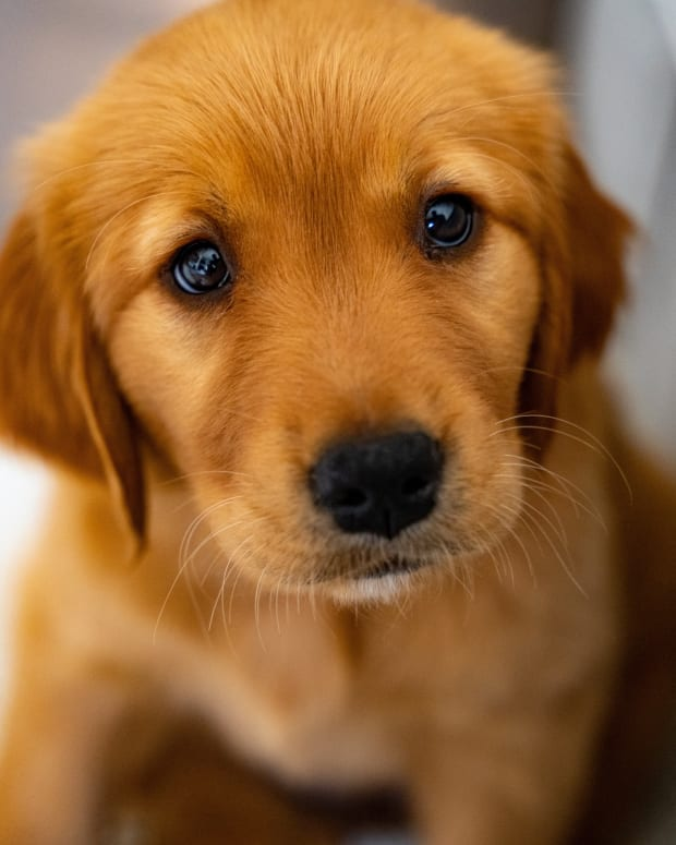 when-do-puppies-open-their-eyes