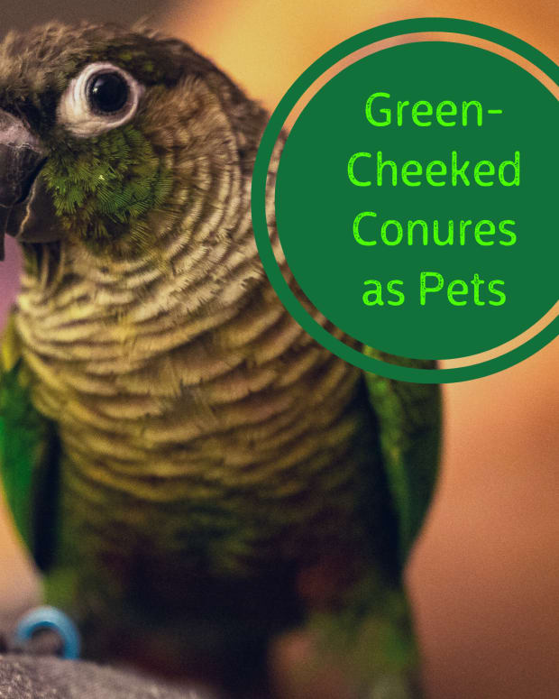 green-cheek-conure-dos-and-donts-and-what-to-expect-in-return