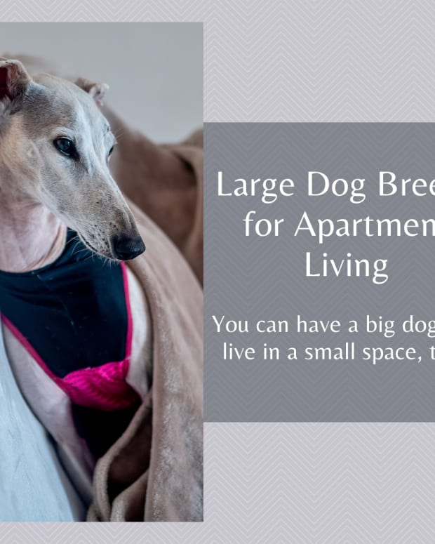 dog-large-breed-for-an-apartment