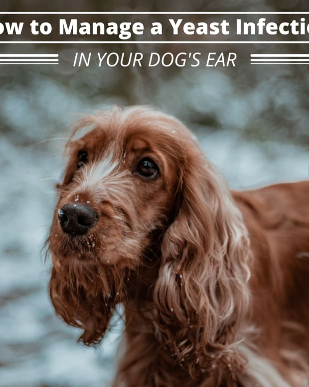 home-remedies-for-dog-ear-yeast-infection