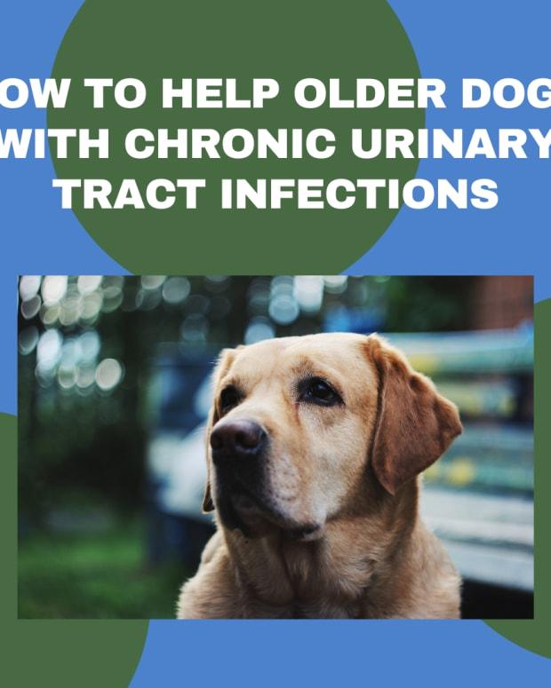 treating-chronic-uti-older-dogs