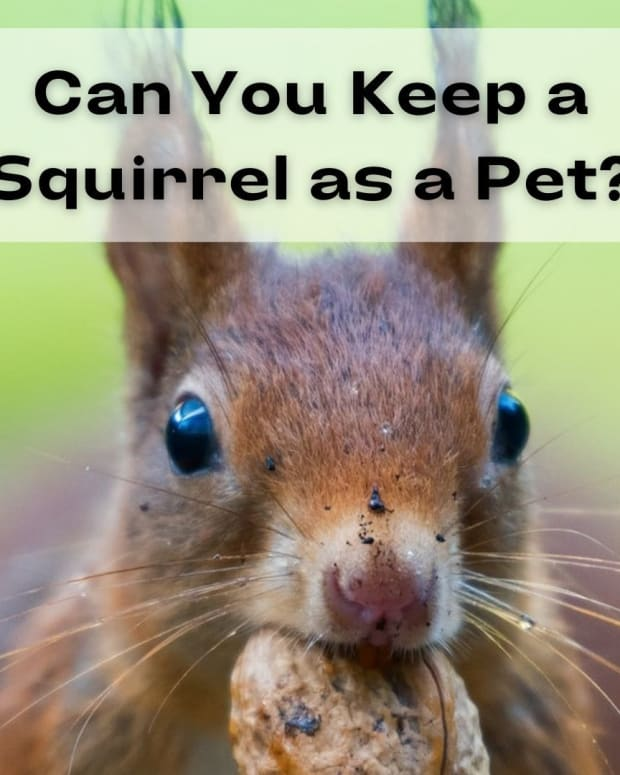 types-of-squirrels-people-keep-as-pets
