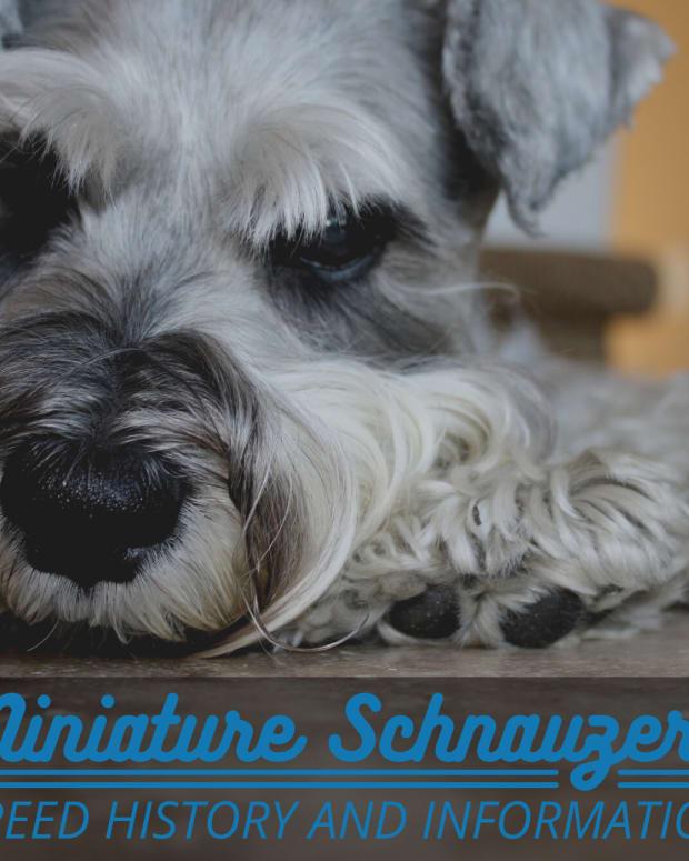 origins-of-the-miniature-schnauzer