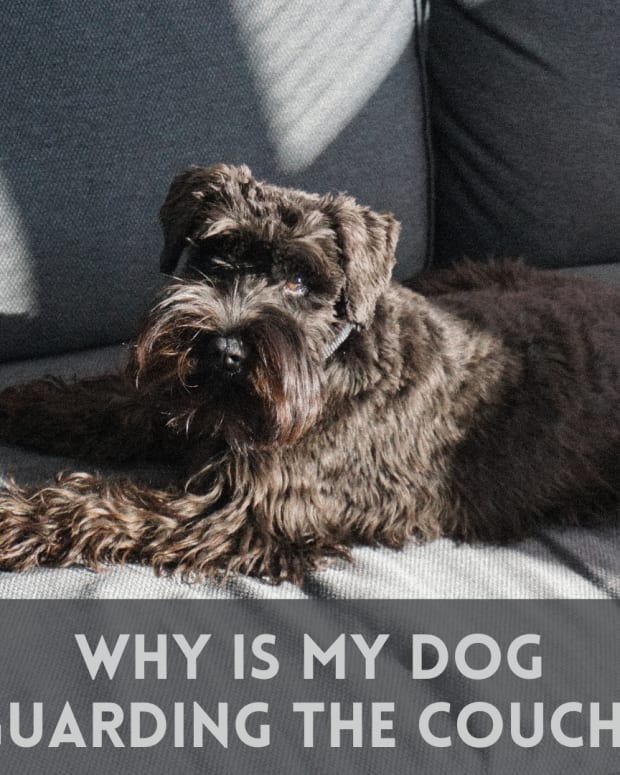 why-is-my-dog-protective-of-the-couch