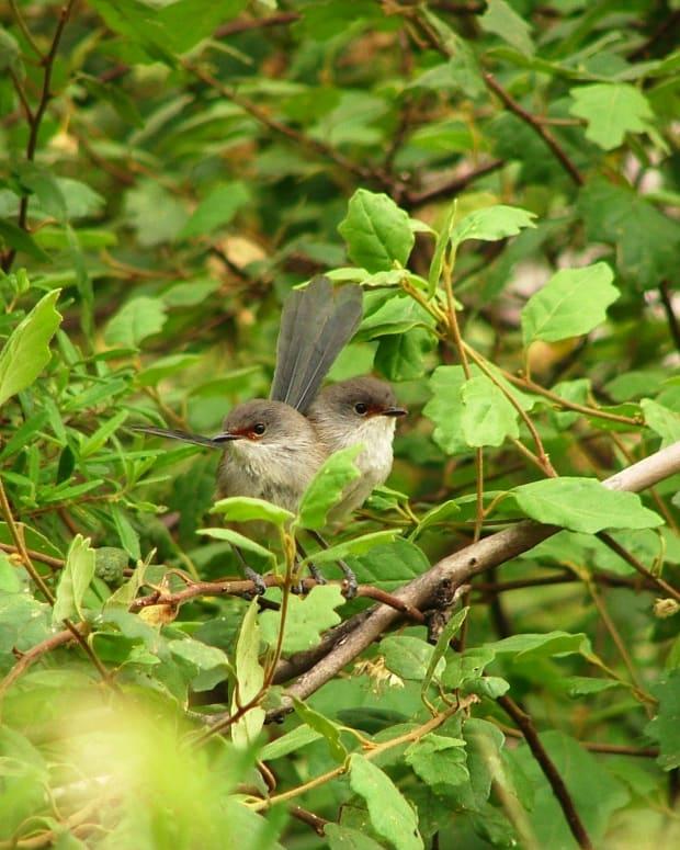 australian-birds-in-my-garden
