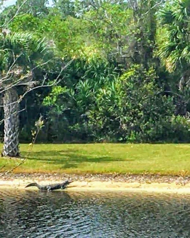 florida-landscape-with-a-gator