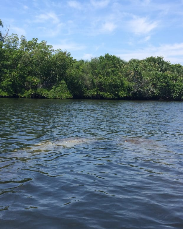 floridas-curious-sea-cows-a-nonet-poem-of-a-manatee-sighting
