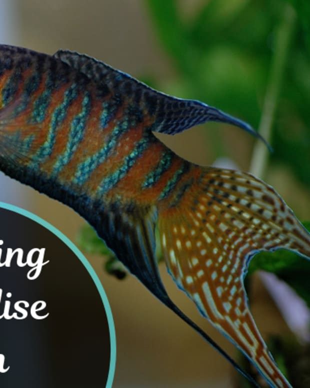 breeding-paradise-fish