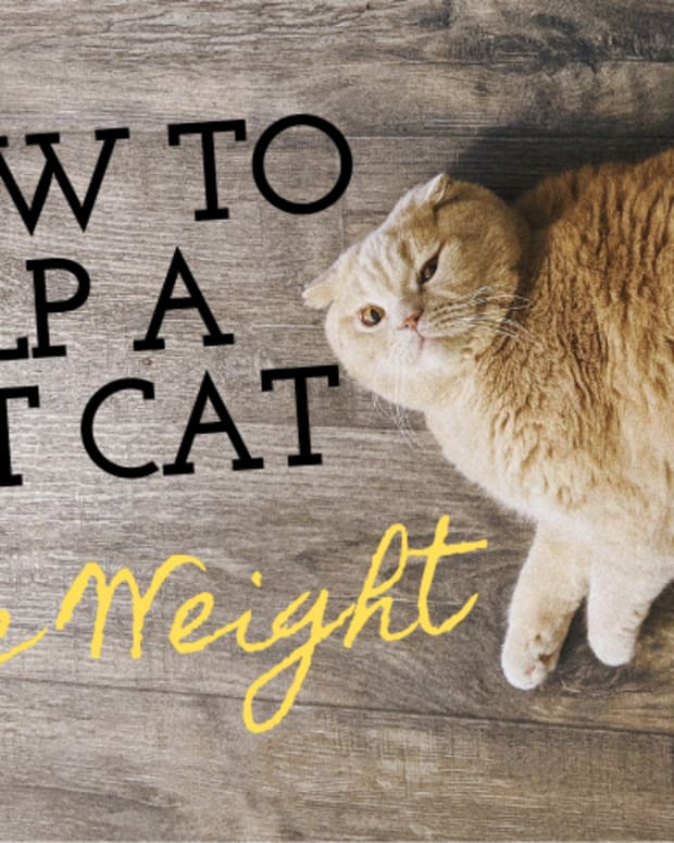 how-to-help-indoor-cats-lose-weight
