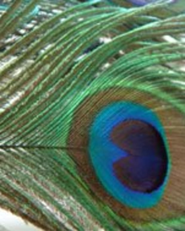 This is the peacock feather I photographed for my tattoo design.