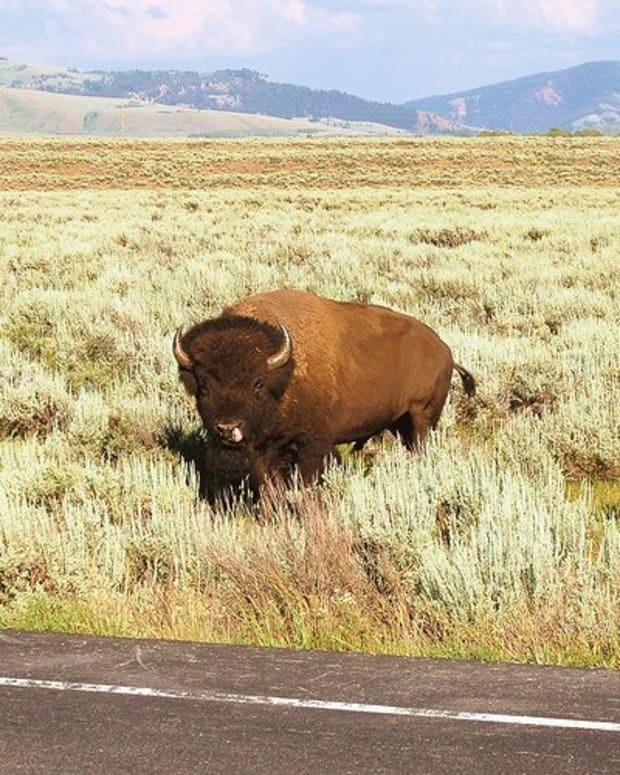 Yellowstone bison, by iotae