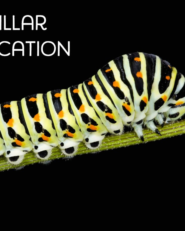 caterpillar-identification-2