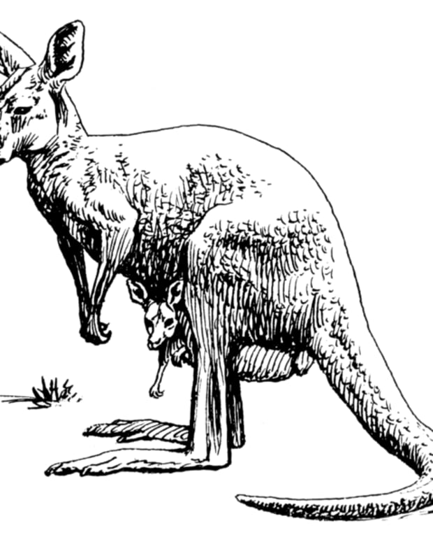 phantom-kangaroos-in-north-america