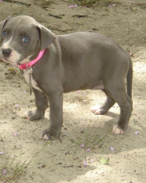 choosing-a-pit-bull-puppy