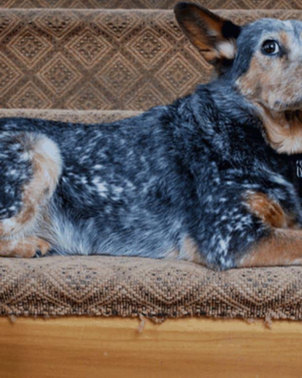 dog-alzheimers