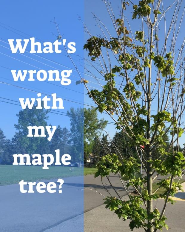 maple-tree-problems