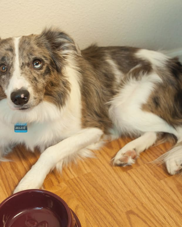 dog-upset-stomach-home-remedy