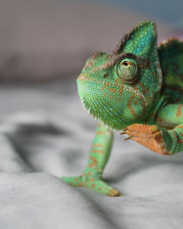 ultraviolet-light--vitamin-d--and-reptile-health