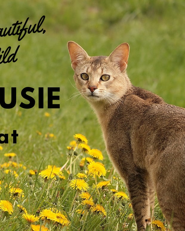 chausie-cats-another-hybrid-domestic-breed