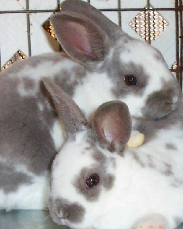 Image from Fancy Free Rabbitry fancyfreerabbitry.homestead.com