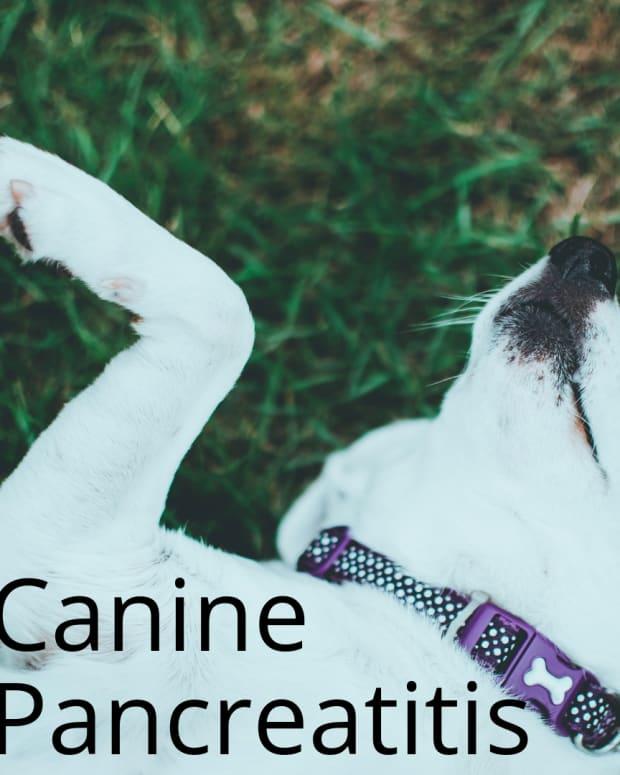 canine-pancreatitis