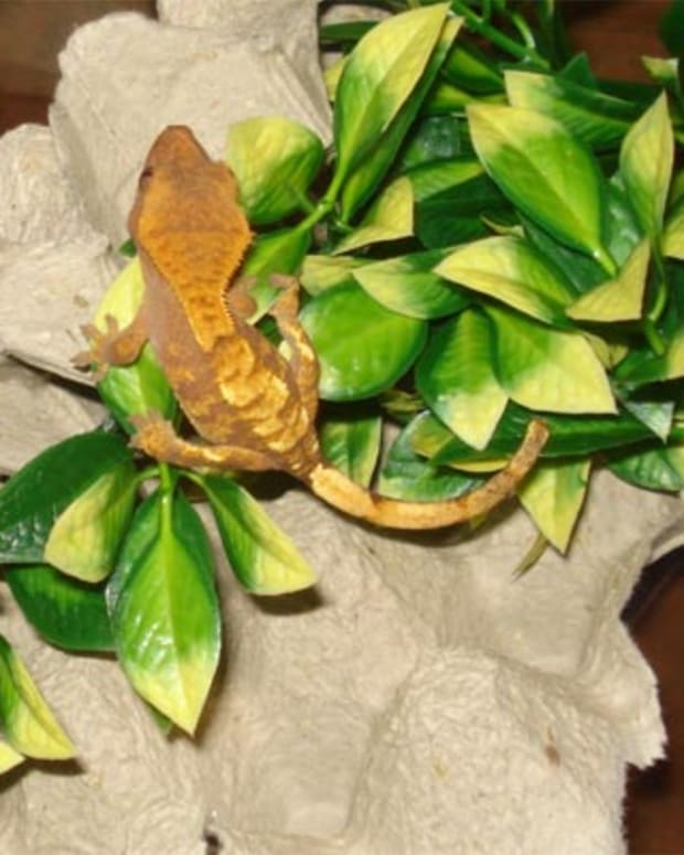 crested_gecko_enclosure