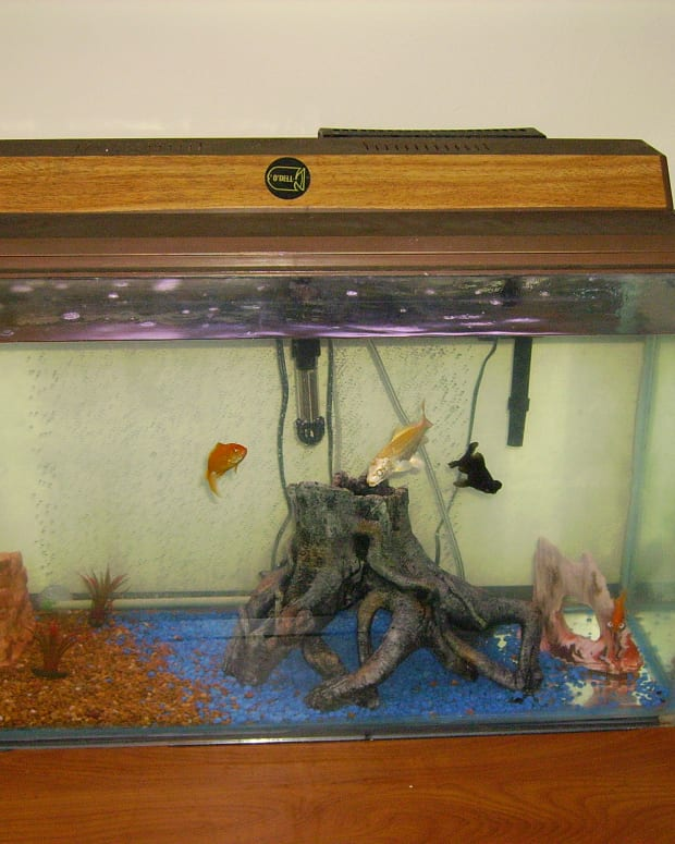 gold-fish-and-community-tank-fish-picks