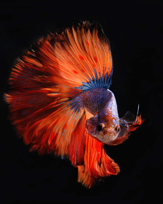 the-siamese-fighting-fish-as-a-desktop-pet