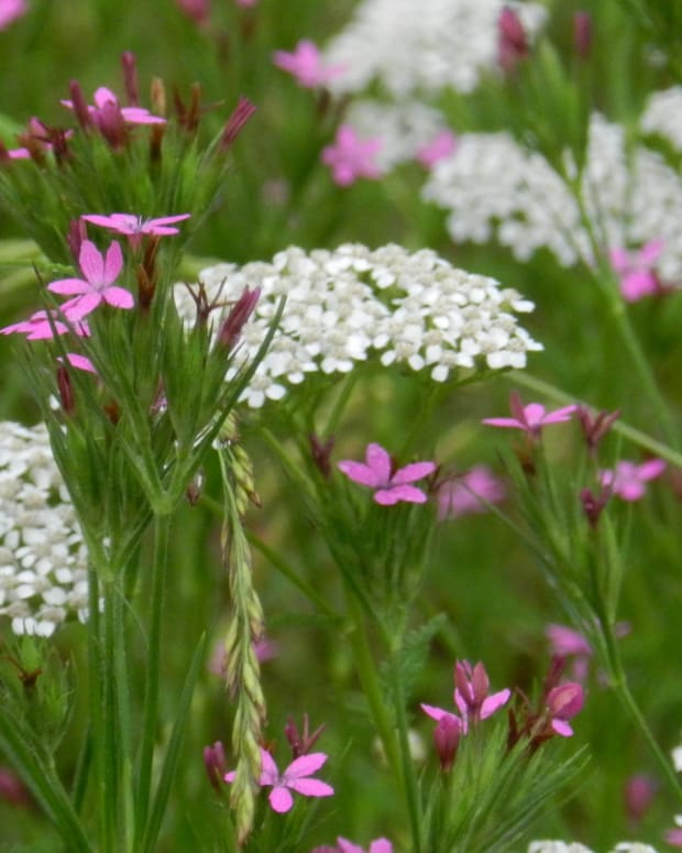 health-benefits-and-other-uses-for-yarrow