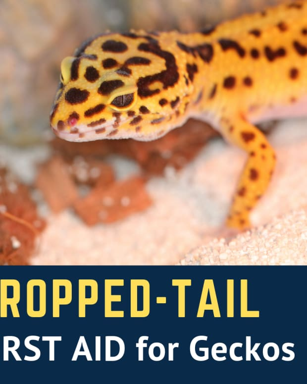 leopard-gecko-dropped-tail