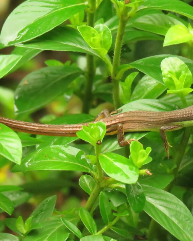 the-long-tailed-grass-lizard