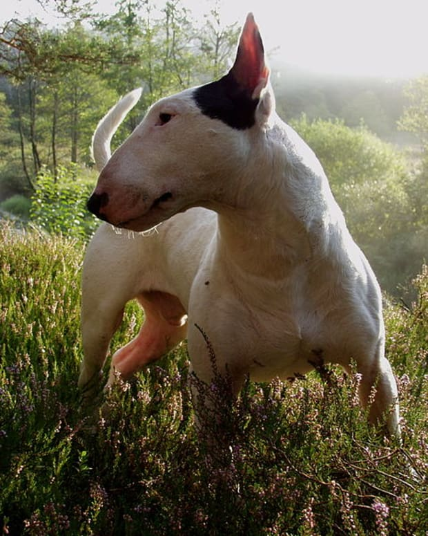bull-terrier-show-craft-good-head-points