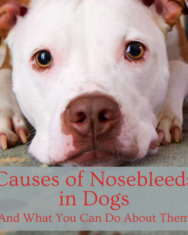 causes-of-nose-bleeds-in-dogs