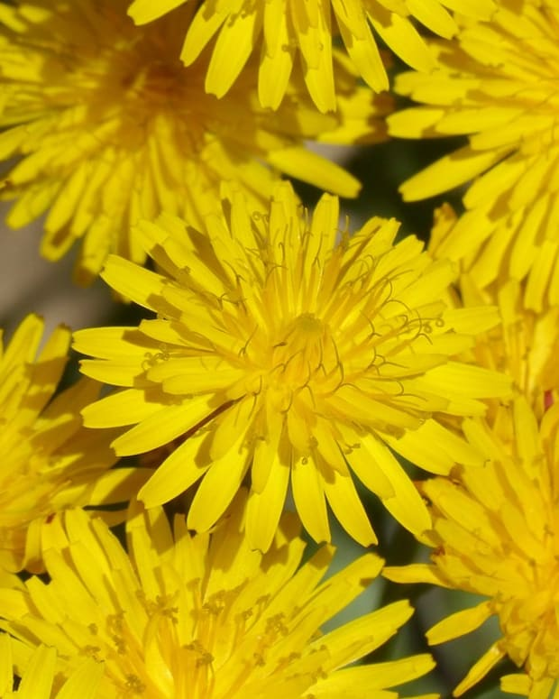 lessons-in-magical-herbalism-dandelion