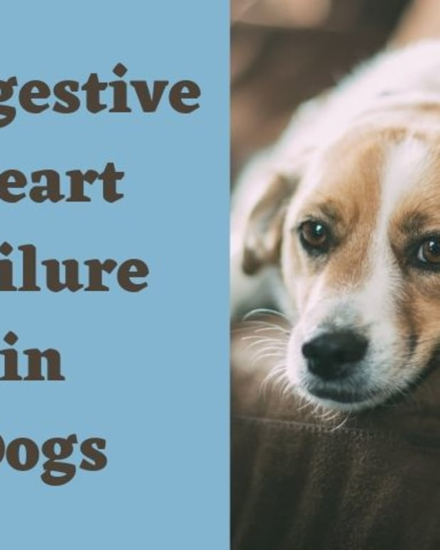 congestive-heart-failure-in-dogs