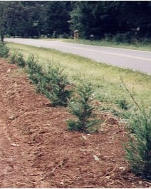 Leyland cypress semi-ripe cuttings taken the summer before