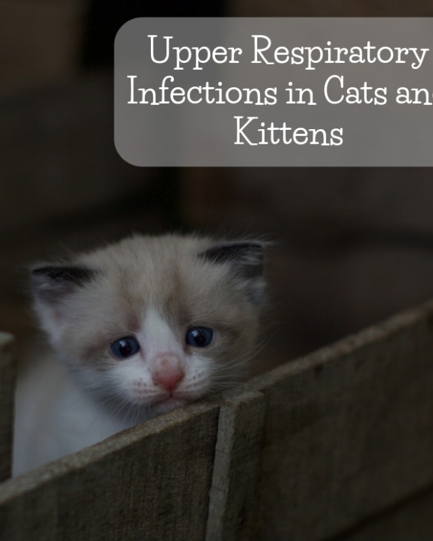 upper-respiratory-infections-in-cats-and-kittens