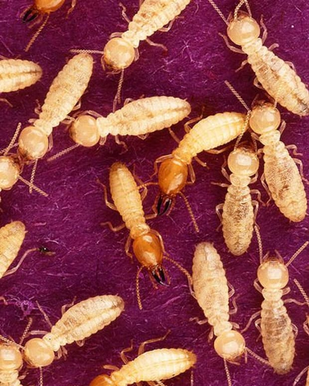 termites-naphthalene