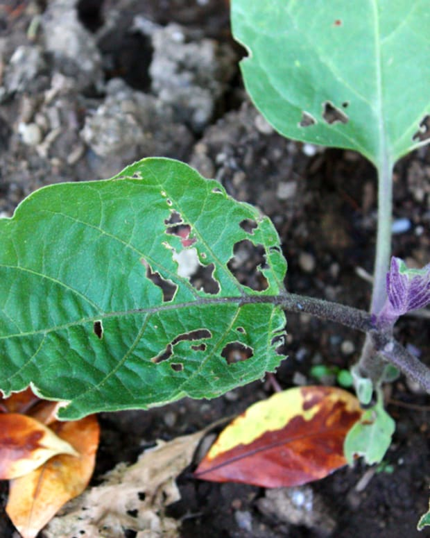 This picture shows damage to one of my eggplant bushes done by earwigs and slugs.  If left alone this plant will die in a matter of weeks.