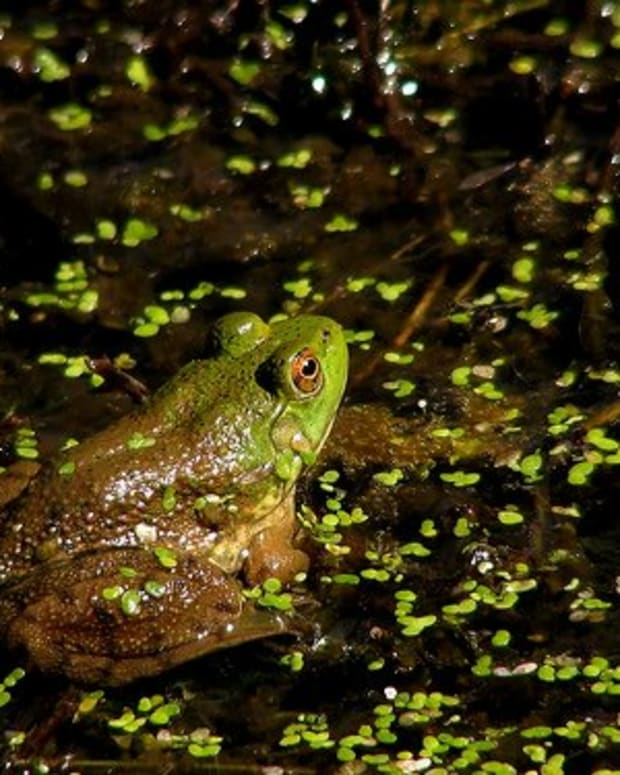 Frog in a pond. Photo by Noël Zia Lee.