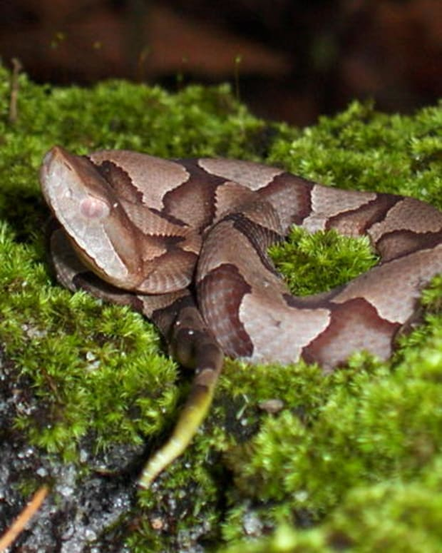 A juvenile copperhead: Note the Yellow Tail!