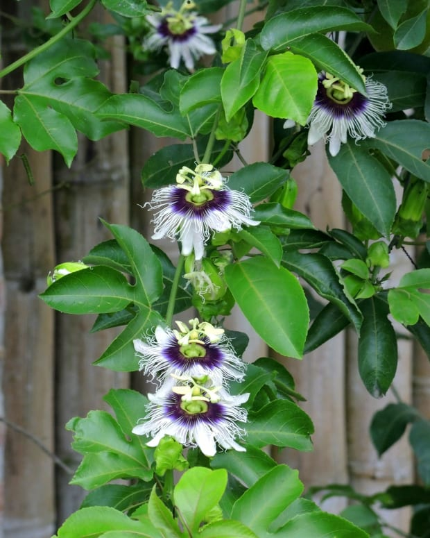 vines-and-climbers-to-enhance-your-garden