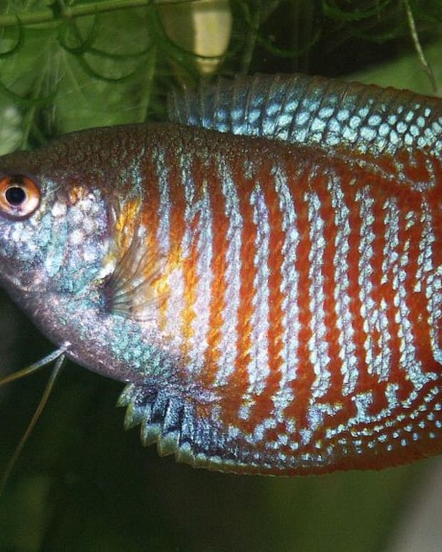 gouramis-identifying-males-and-females
